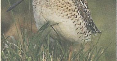 Naturschutzprojekt im Ibmer Moor zur Rettung der Vogelart Bekassine